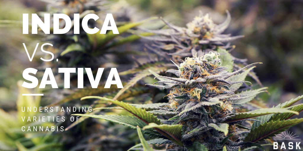 Indica vs. Sativa : Understanding Varieties of Cannabis Strains